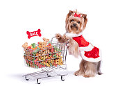 Yorkshire Terrier Dog in a Santa Dress Shopping for Dog Biscuits