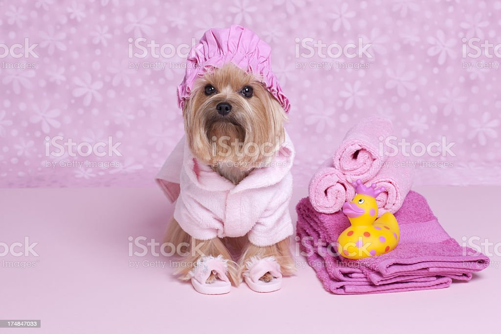 Yorkshire Terrier dog in a shower cap and slippers stock photo
