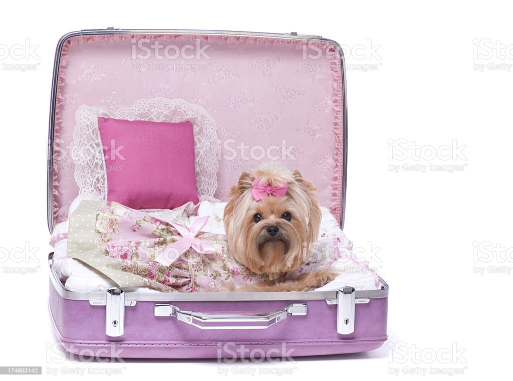 Yorkshire Terrier dog in a suitcase royalty-free stock photo