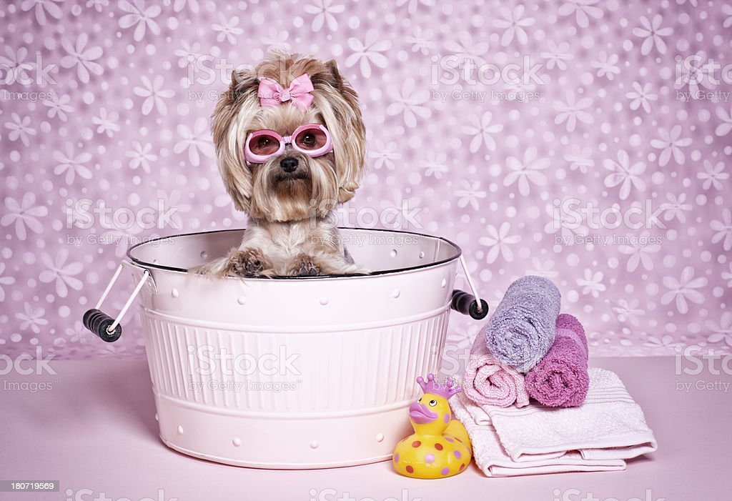 Yorkshire Terrier dog in a washtub with goggles royalty-free stock photo