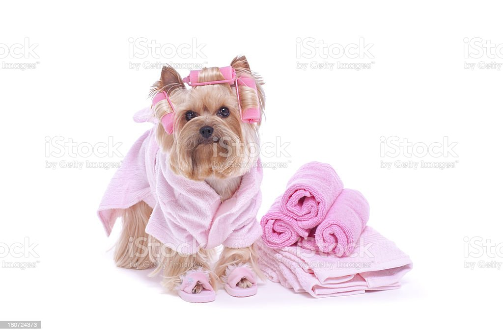 Yorkshire Terrier dog in curlers and slippers royalty-free stock photo