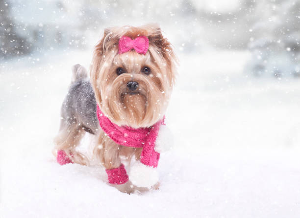 Yorkshire terrier dog in the snow picture id1064399550?b=1&k=6&m=1064399550&s=612x612&w=0&h=ohhif1rvd2ft tbp1vabqvr smky xcvlqksvelbe a=
