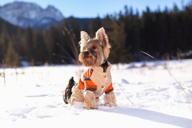 Yorkshire terrier dog in the winter in nature picture id875218742?b=1&k=6&m=875218742&s=612x612&w=0&h=qdnsupg1nwezqbxffb50oeyhgxlwhjxhmjkxg 7fgtg=