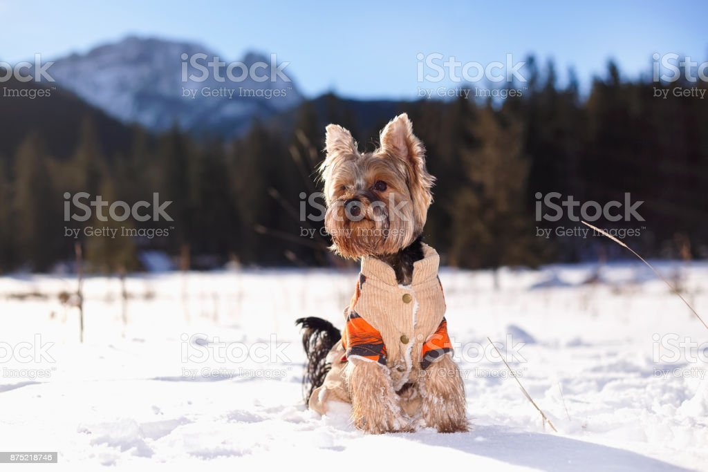 Yorkshire terrier dog in the winter in nature. stock photo
