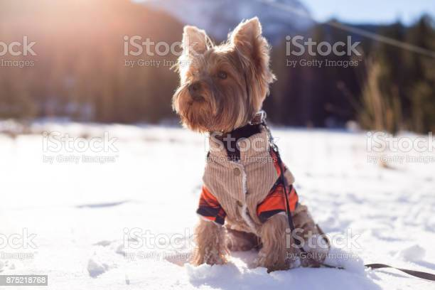 Yorkshire terrier dog in the winter in nature picture id875218768?b=1&k=6&m=875218768&s=612x612&h=5bzcdxaqqbrsu4fspirq9n946lcqf9it0fqu4lfi ck=