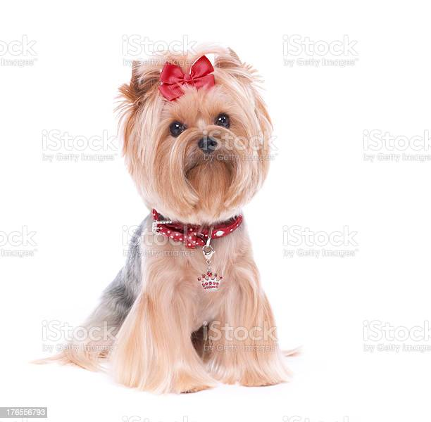 Yorkshire terrier dog isolated on white picture id176556793?b=1&k=6&m=176556793&s=612x612&h=fv4dgme288gyguwyqc6iosstukafjnhm76kwicw bd8=