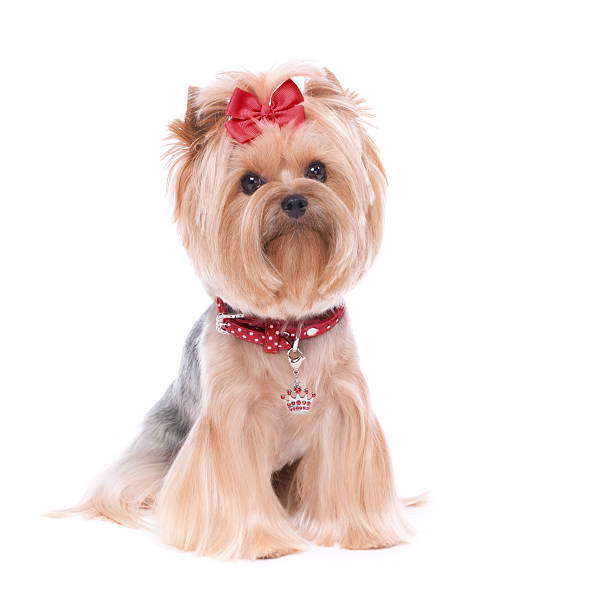 Yorkshire terrier dog isolated on white picture id176556793?b=1&k=6&m=176556793&s=612x612&w=0&h=yr mrzazjt5pfa pvuiink9iskfkey4m bldmvzhbxs=