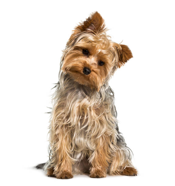 Yorkshire terrier dog looking down against white background picture id962815228?b=1&k=6&m=962815228&s=612x612&w=0&h=izntxrp1 krxwy zrn8tjy3qri eywsp6fz1ssf2oku=