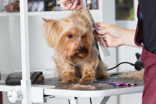 Yorkshire-Terrier Hund auf eine Frisur in einem Pflege-salon – Foto