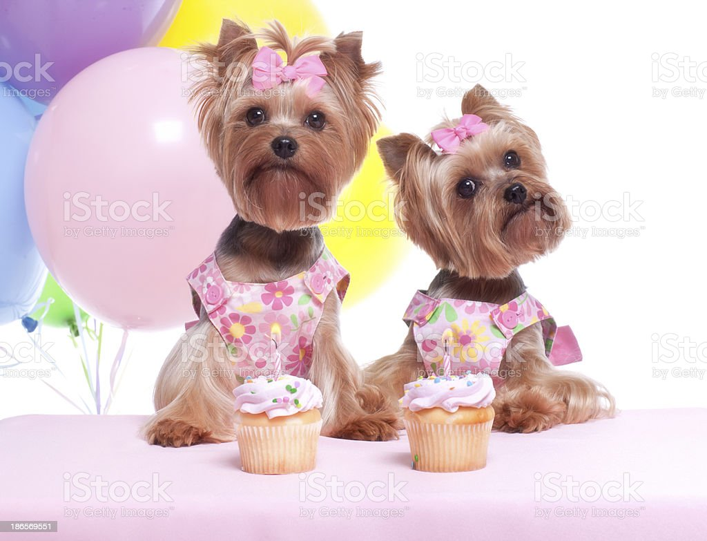Yorkshire Terrier Welpe Hund Party Stockfoto Istock