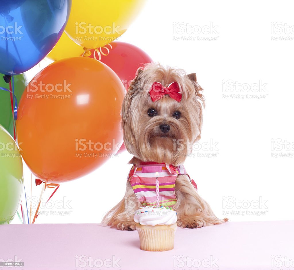 Yorkshire Terrier Welpe Hund Party Stock Fotografie Und Mehr Bilder