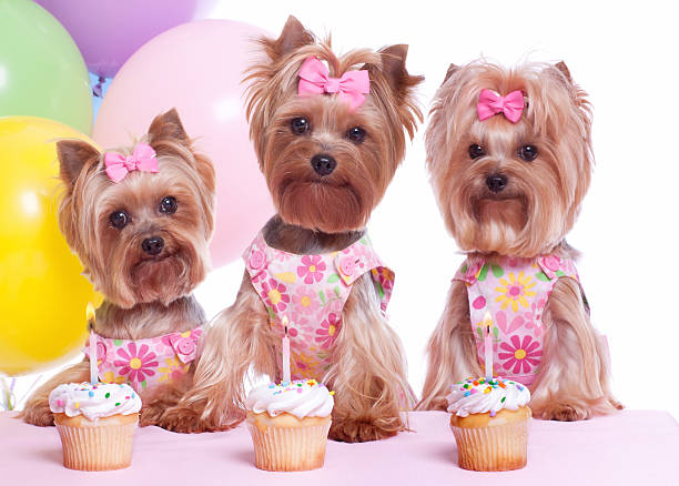 Image result for yorkie dog, in the party