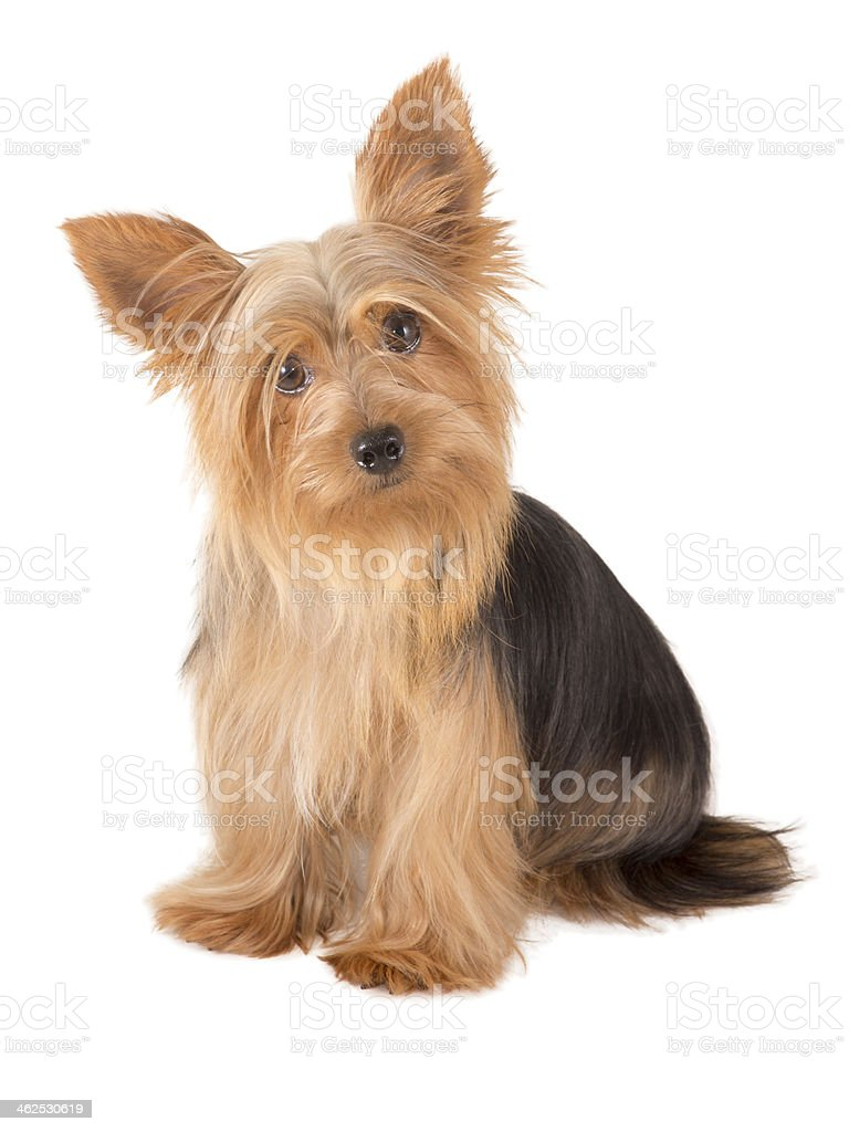 Yorkshire Terrier Dog - Royalty-free Animal Stock Photo