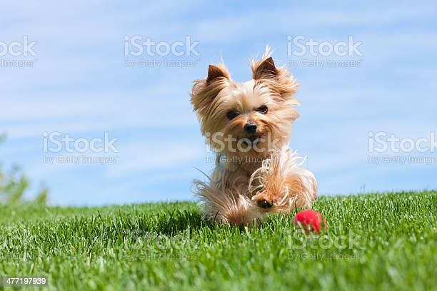 Yorkshire terrier dog running outdoors picture id477197939?b=1&k=6&m=477197939&s=612x612&h=4xr2 ucnvjypnkhadg2hfiosnk fjwznbgwfiwuuar8=
