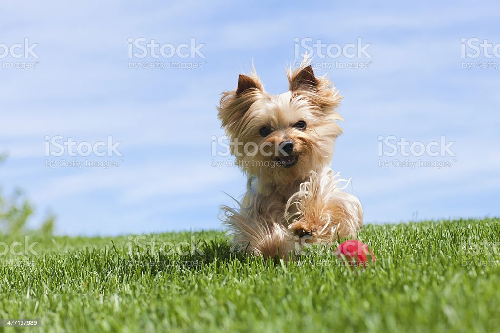 Yorkshire Terrier Dog Running Outdoors stock photo
