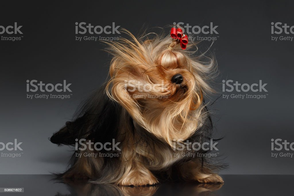Yorkshire Terrier Dog Shaking his Head on Black Mirror stock photo