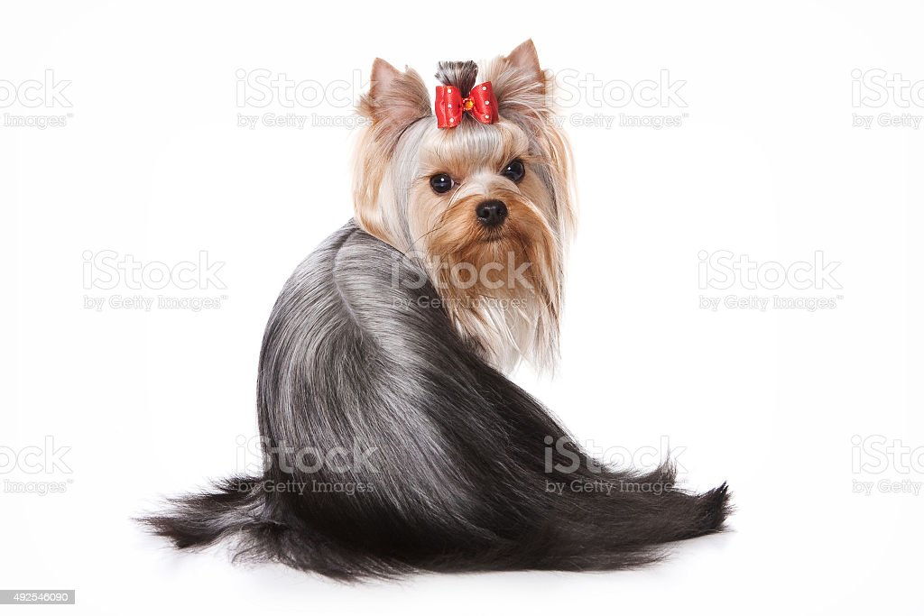 Yorkshire Terrier dog sitting back (isolated on white) stock photo
