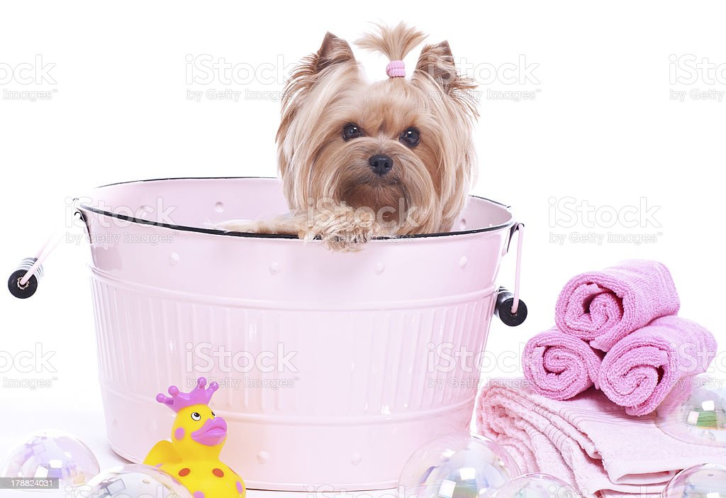 Yorkshire Terrier dog day at the spa.