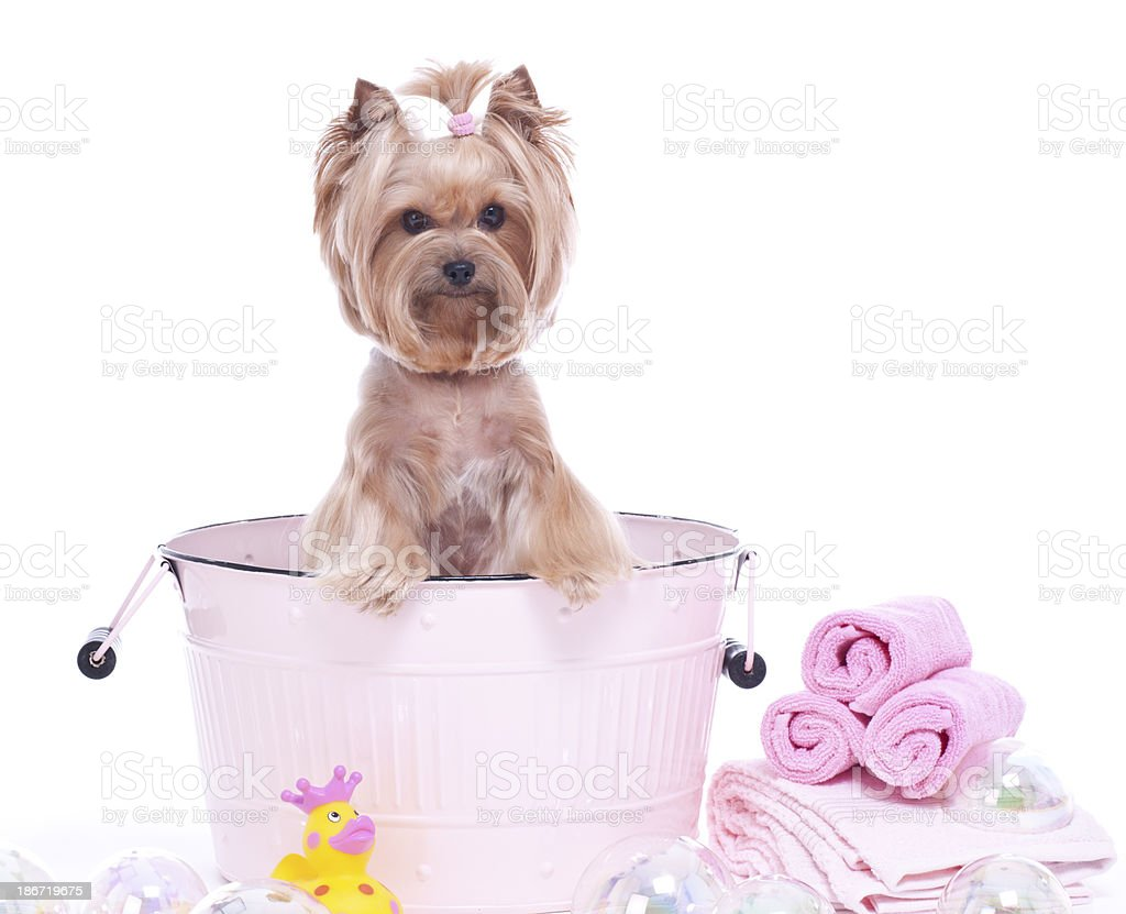 Yorkshire Terrier Dog Spa stock photo