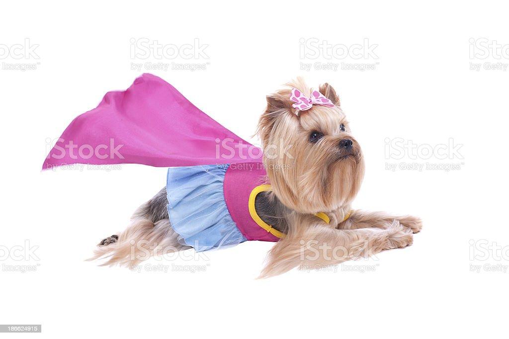 Photo De Stock De Yorkshire Terrier Chien Super Héros Images Libres