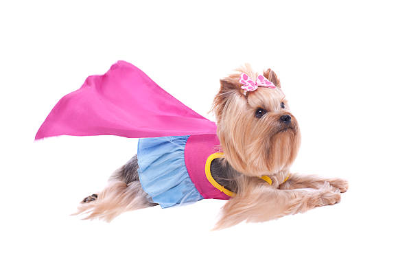 Yorkshire terrier dog super hero picture id186624915?b=1&k=6&m=186624915&s=612x612&w=0&h=vm9a7 naoux rgga4g 48g p6  ne3g1cyzxth ihba=