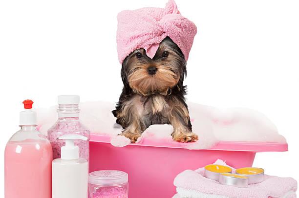 Yorkshire Terrier Welpe Hund ein Bad – Foto