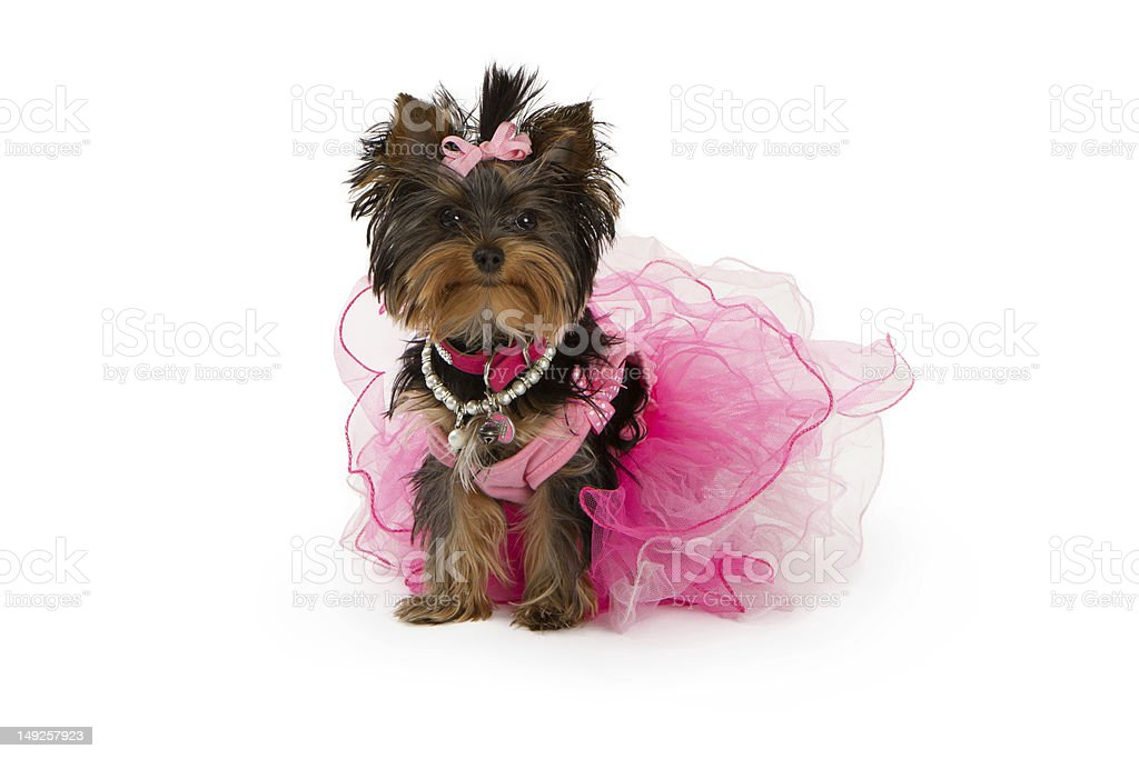 Yorkshire Terrier Dog Wearing Pink Tutu stock photo