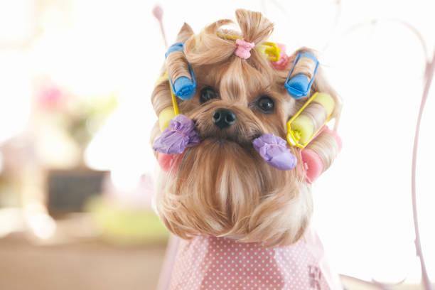 yorkshire terrier hund mit haarsplern - langes lätzchen stock-fotos und bilder
