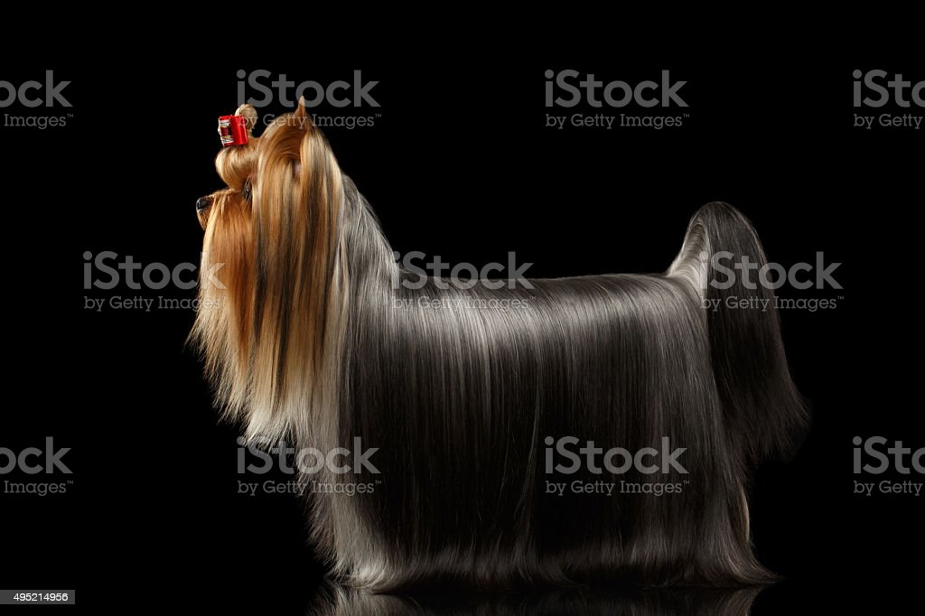 Yorkshire Terrier Dog With Long Groomed Hair Stands On Black Stock