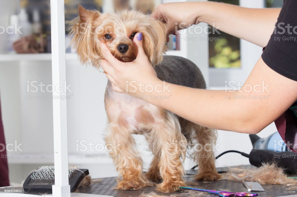 Yorkshire Terrier For Grooming Stock Photo More Pictures Of Animal