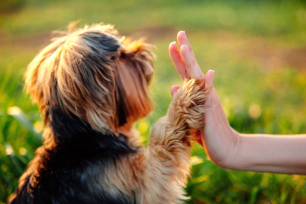 Yorkshire terrier gives paw his owner closeup with human hand stock photo