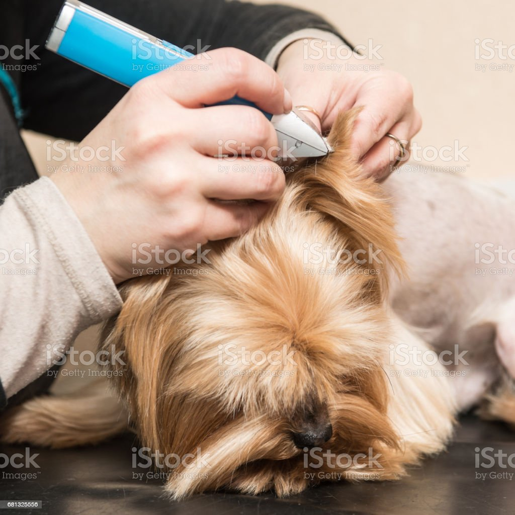 Yorkshire Terrier grooming, blow-drying royalty-free stock photo