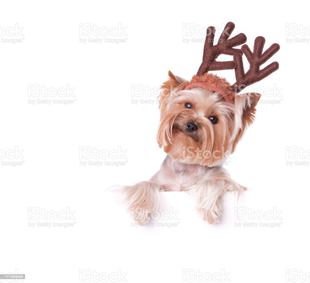 Yorkshire Terrier Holding a Blank Sign royalty-free stock photo