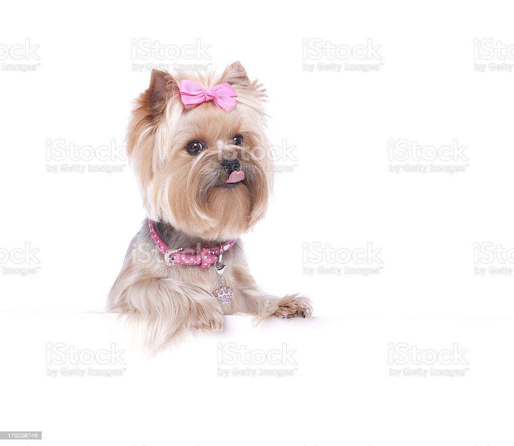 Yorkshire Terrier holding a blank sign stock photo