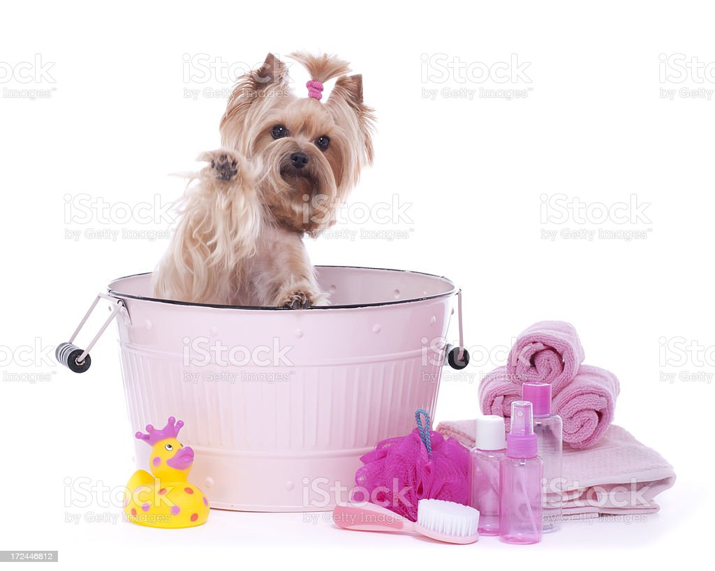 Yorkshire Terrier in a bathtub royalty-free stock photo