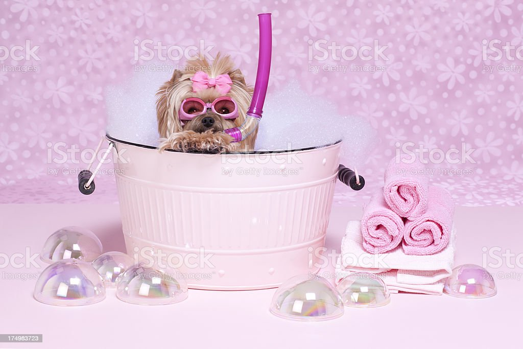 Yorkshire Terrier in a bathtub with goggles and snorkel royalty-free stock photo