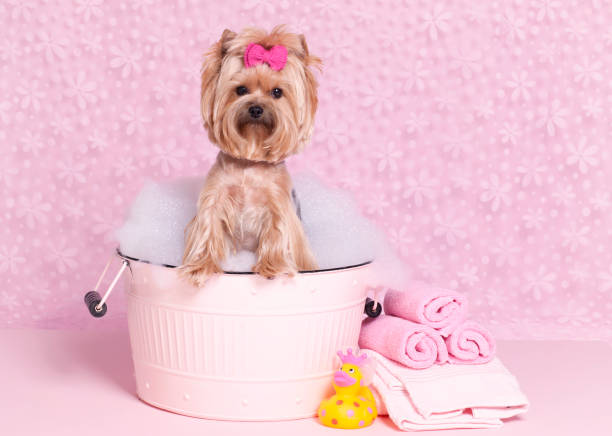Yorkshire terrier in a bubble bath at the grooming salon spa	 Yorkshire terrier in a bubble bath at the grooming salon spa Yorkshire terrier in a bubble bath at the grooming salon spa against a retro pink background bubble bath stock pictures, royalty-free photos & images