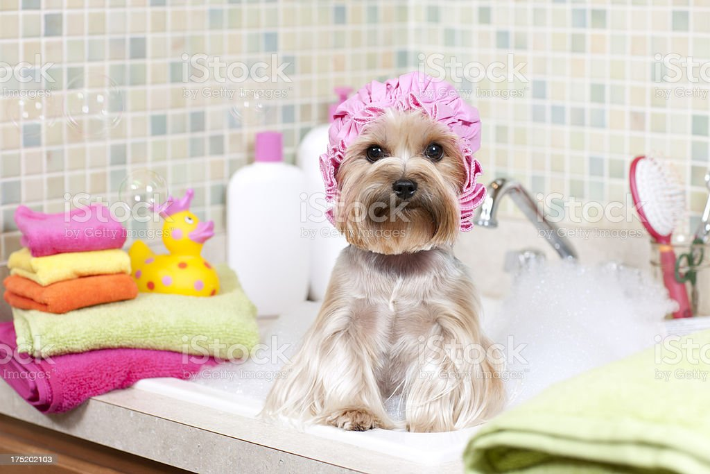 Yorkshire Terrier in a Bubble Bath stock photo