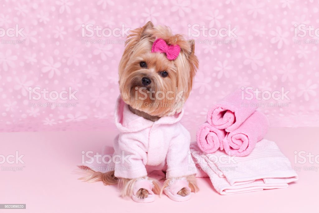 Yorkshire Terrier In A Pink Bathrobe And Slippers At The Grooming