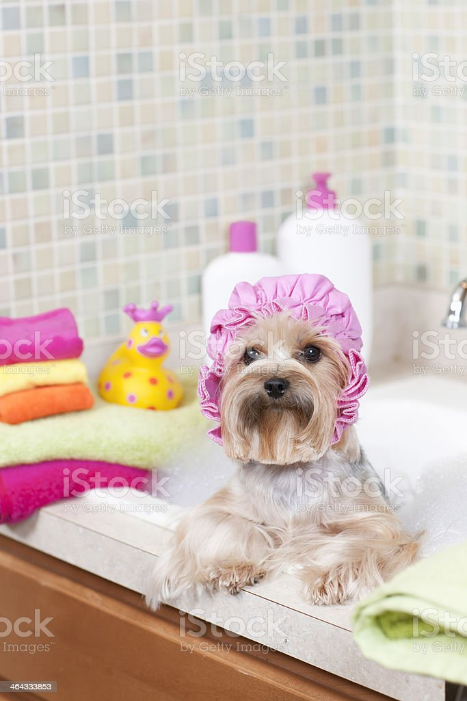 Yorkshire Terrier in a Pink Shower Cap vertical stock photo