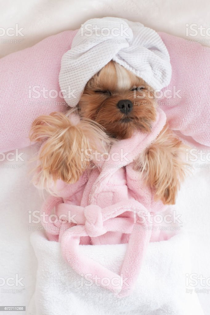 Yorkshire Terrier in a Robe and Wrapped in a Towel at the Pet Grooming Salon stock photo