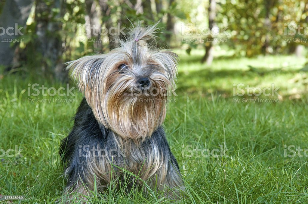 Yorkshire Terrier in city park royalty-free stock photo