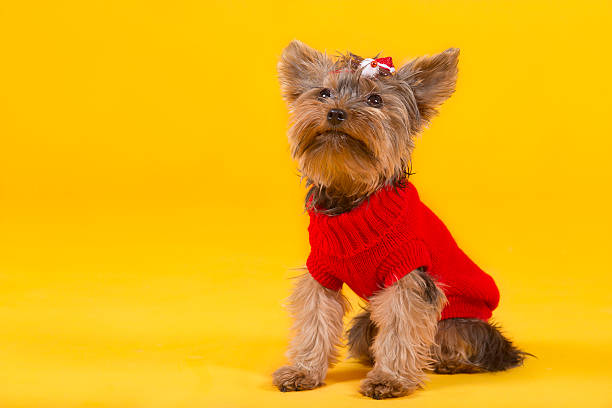 yorkshire terrier in clothes stock photo