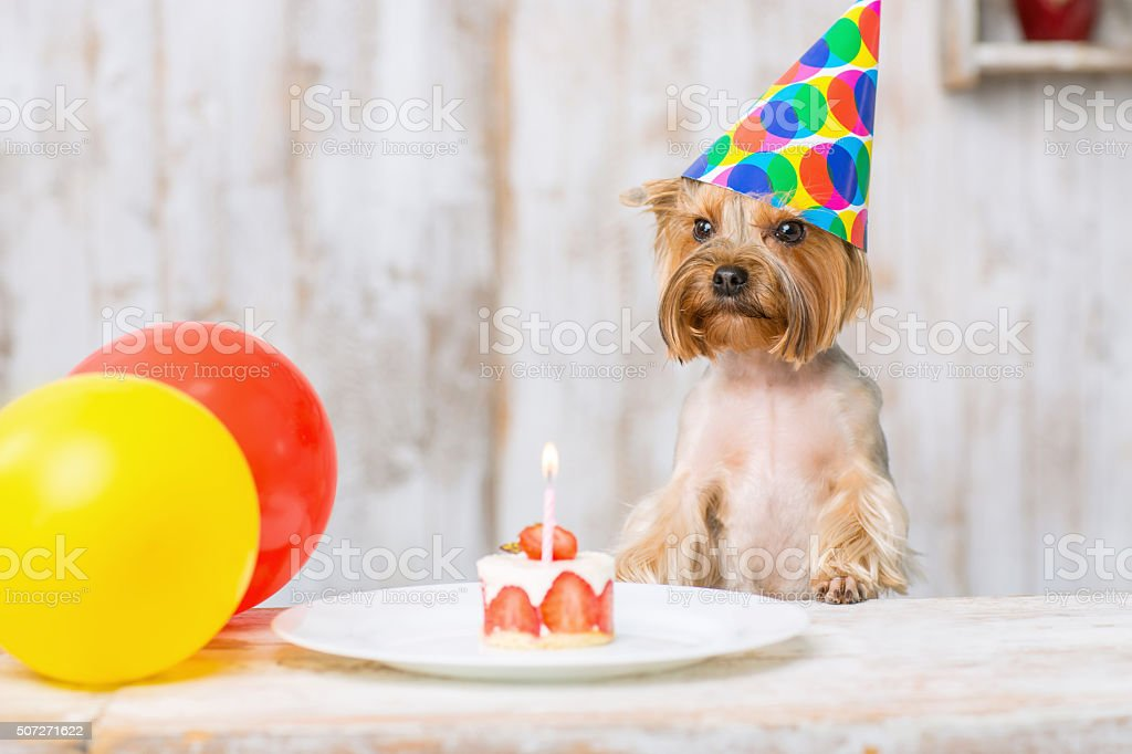 Yorkshire terrier in front of birthday cake stock photo