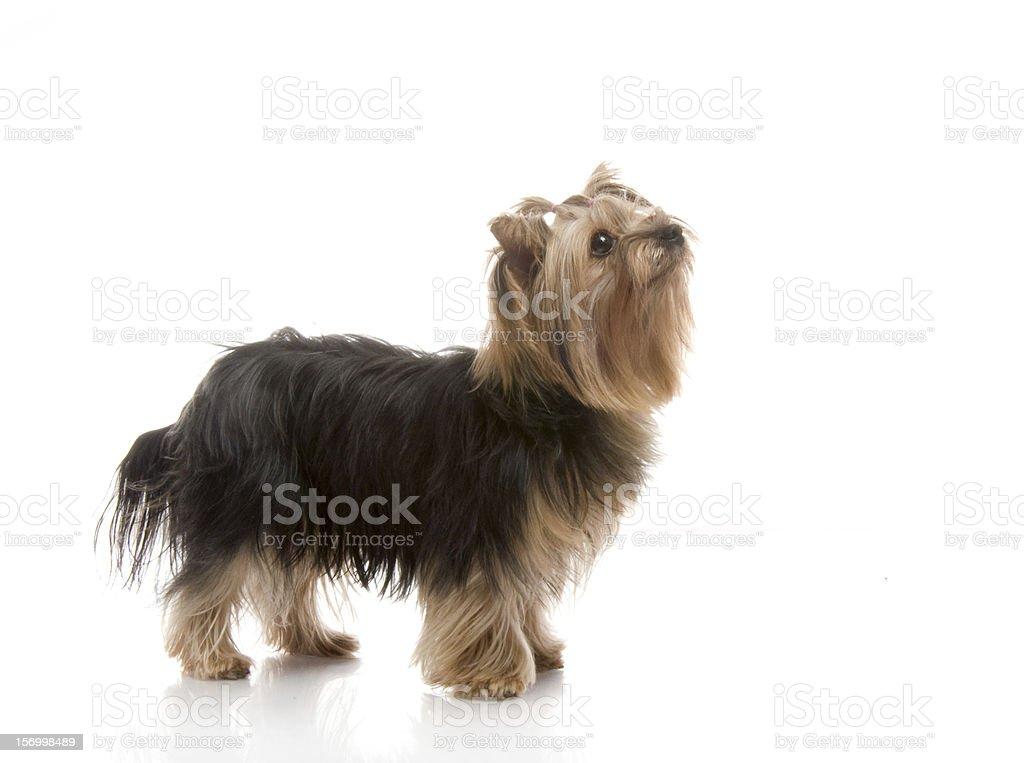 Yorkshire Terrier in studio royalty-free stock photo