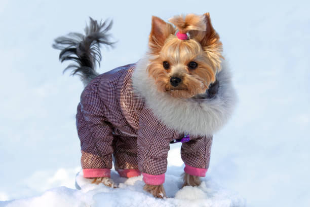 Yorkshire terrier in suit on winter walk stock photo