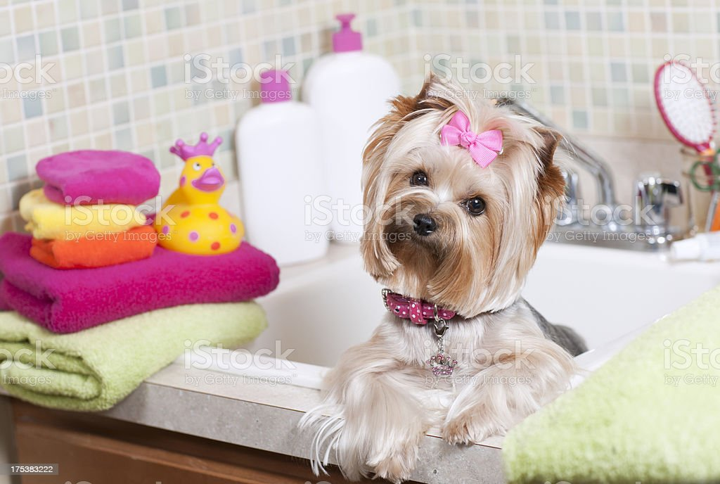 Yorkshire Terrier in the Bathtub stock photo
