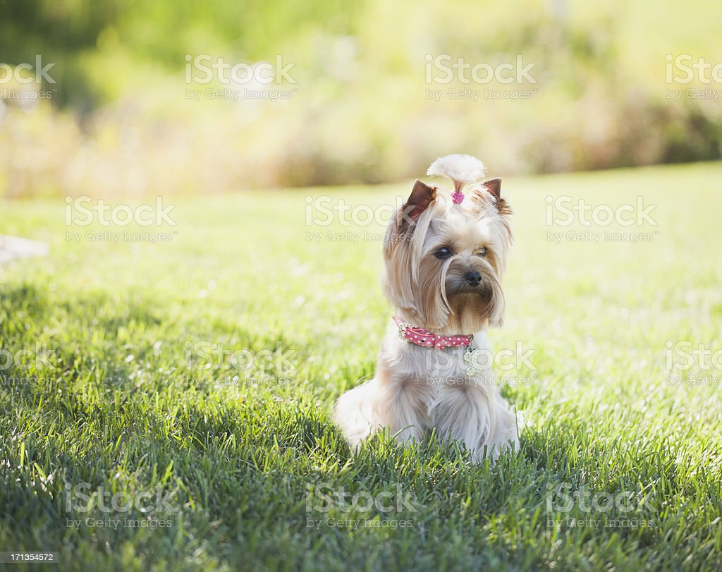Yorkshire Terrier in the Grass royalty-free stock photo