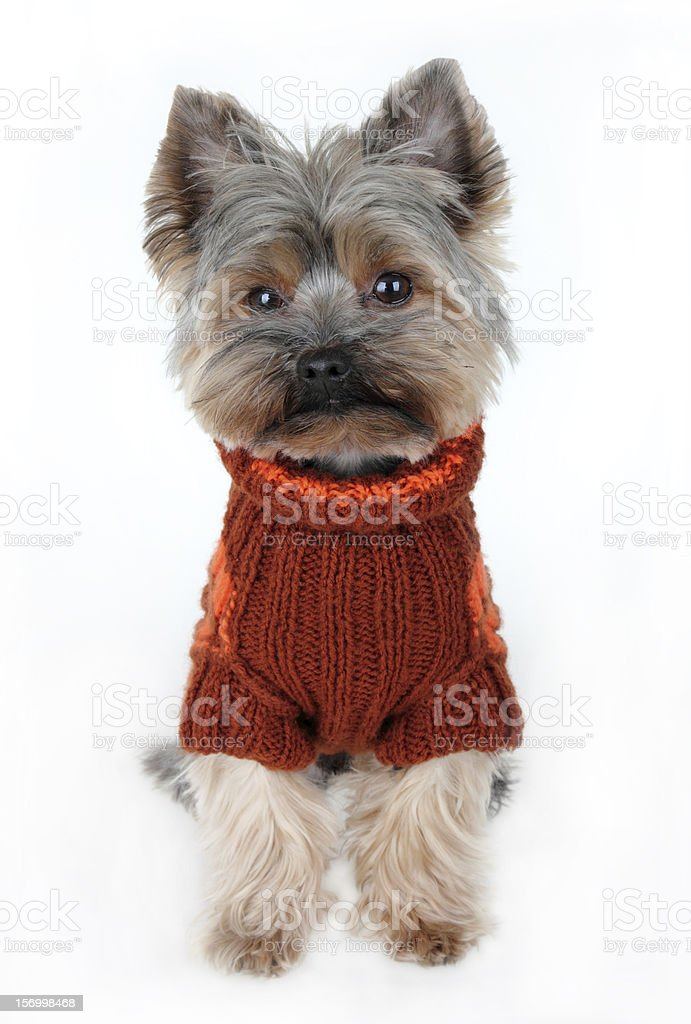 Yorkshire terrier in winter clothes stock photo