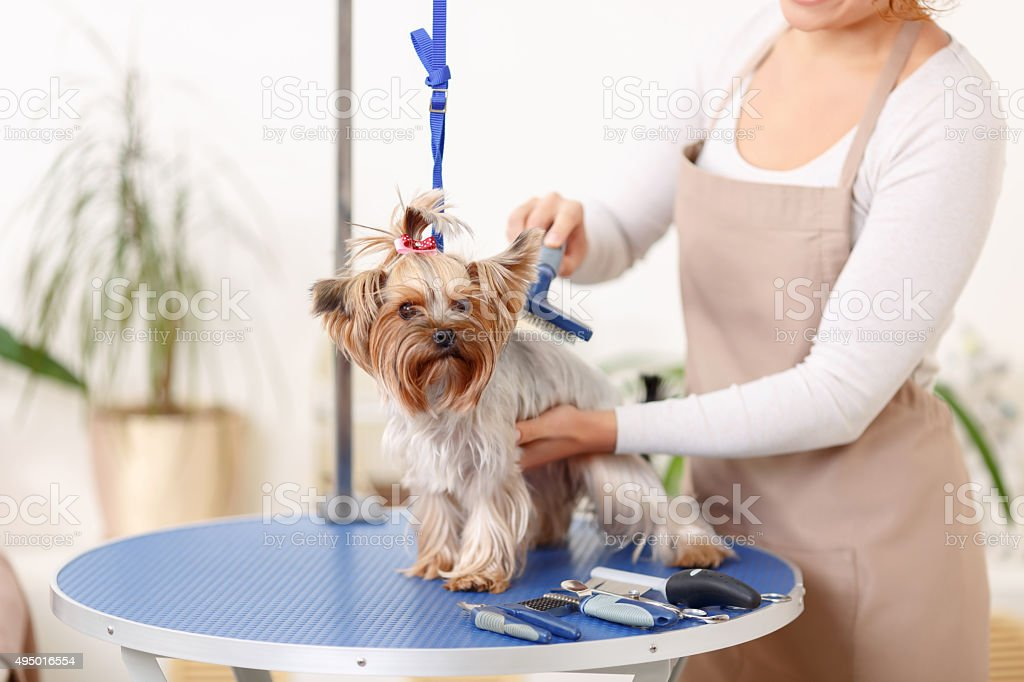 Yorkshire terrier is being brushed by groomer stock photo